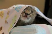 TICA зарегистрированных котят на продажу.