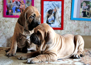 Продаются щенки фила бразилейро